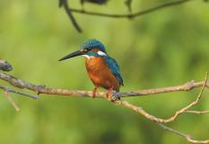 CommonKingfisher.jpg