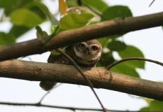 225 Spotted Owlet.jpg